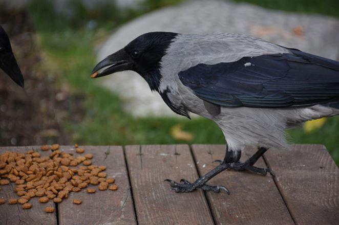 Budú vrany zbierať odpad z cigariet?