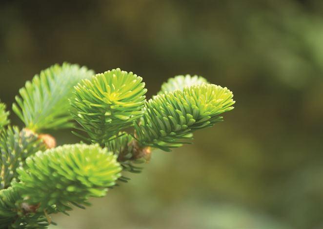 Aký vianočný stromček je ekologickejší? Živý alebo umelý?