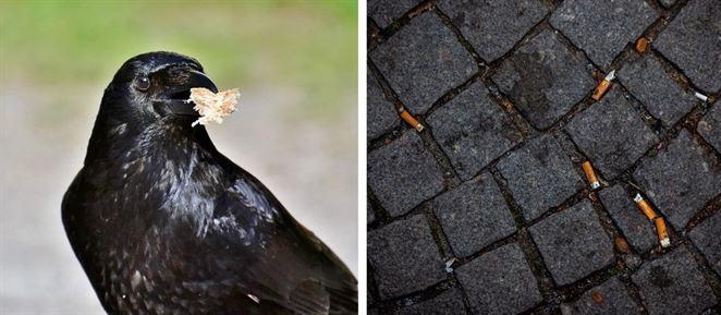 V Abú Zabí zbierajú pouličný odpad cvičené papagáje a vrany